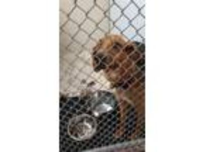 Adopt Sadie a Red/Golden/Orange/Chestnut Bloodhound / Australian Shepherd /