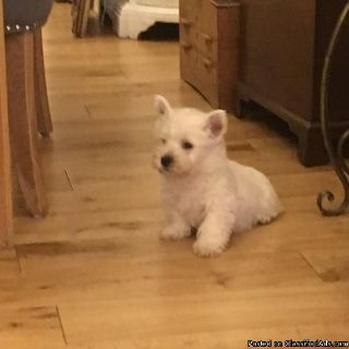 Beautiful west highland white terrier puppies