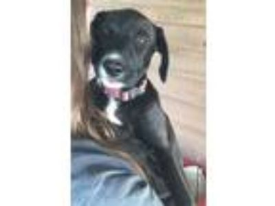 Adopt Cindy a Labrador Retriever, Border Collie