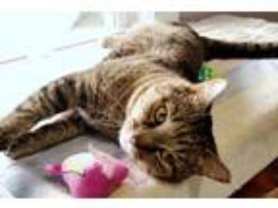 Adopt Sid a Tiger Striped Domestic Shorthair (short coat) cat in Boston