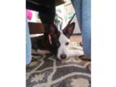 Adopt Roxy a White - with Black Cattle Dog / Mixed dog in Reisterstown