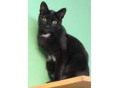 Adopt Spot a All Black Domestic Shorthair / Domestic Shorthair / Mixed cat in