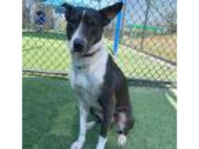 Adopt KESHA a Black - with White Basenji / Mixed dog in Dallas, TX (25583733)