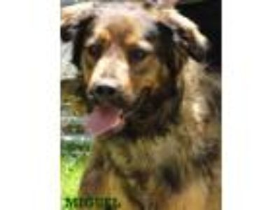 Adopt Miguel a Brown/Chocolate - with Black Labrador Retriever / Mixed Breed