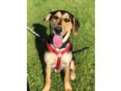 Adopt Rocky a Black - with Tan, Yellow or Fawn Shepherd (Unknown Type) /