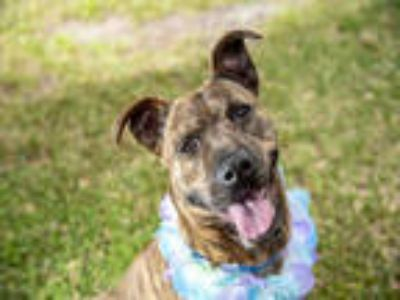 Adopt ZOEY a Brindle Dutch Shepherd / Mixed dog in Tallahassee, FL (23735177)