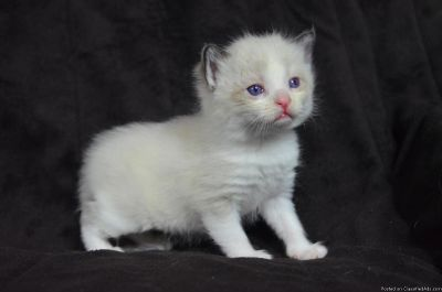 Registered Ragdoll Kittens For Sale.