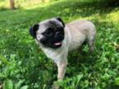 Adopt Susie a Pug / Mixed dog in Lancaster, PA (25763745)