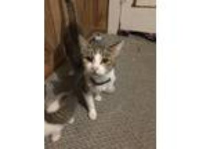 Adopt Momma Cat and kittens a Gray, Blue or Silver Tabby Domestic Shorthair /