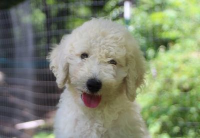 Goldendoodle PUPPY FOR SALE ADN-88114 - darling Fiona looking for a home