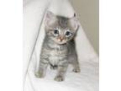 Adopt Mendi (baby boy) a Gray, Blue or Silver Tabby Domestic Shorthair / Mixed