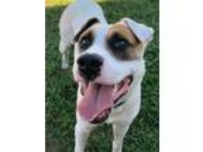 Adopt Auggie a Labrador Retriever, Australian Cattle Dog / Blue Heeler