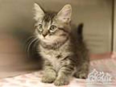 Adopt GENIE a Brown Tabby Domestic Shorthair / Mixed (short coat) cat in Irvine