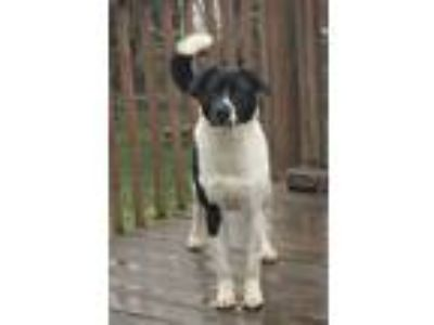 Adopt Parker a Black - with White Border Collie / Mixed dog in Pottstown