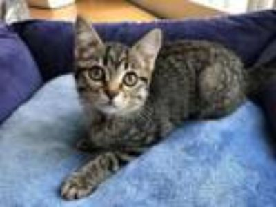 Adopt Pearl - In Foster a Domestic Short Hair, Tabby