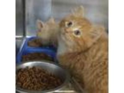 Adopt Long-Haired Kittens a Tabby