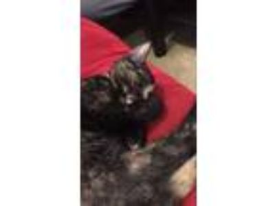 Adopt Amber a Calico or Dilute Calico American Shorthair / Mixed cat in