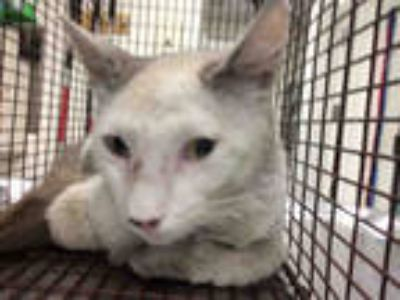 Adopt *ROMEO a White (Mostly) Domestic Shorthair / Mixed (short coat) cat in