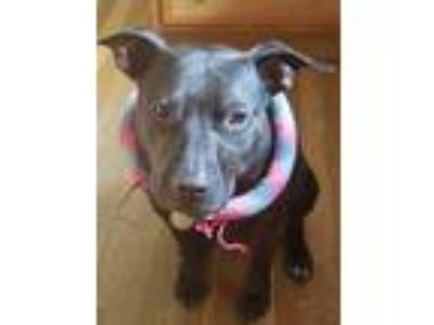Adopt Charlie Brown a Pit Bull Terrier