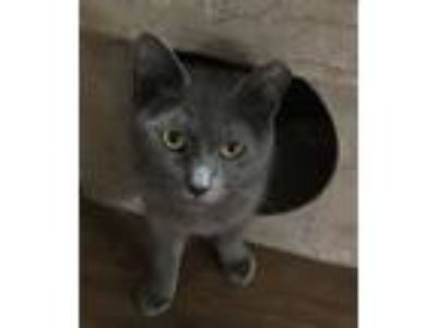 Adopt Chanel a Gray or Blue Russian Blue (short coat) cat in Landenberg