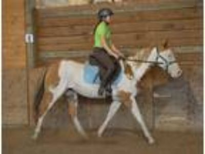 Quiet and Loveluy APHA Mare