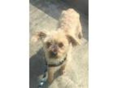 Adopt Max a Tan/Yellow/Fawn Shih Tzu / Mixed dog in New Orleans, LA (25338976)