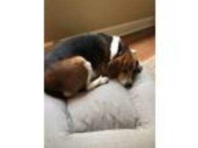 Adopt Copper a Tricolor (Tan/Brown & Black & White) Beagle / Mixed dog in Wayne