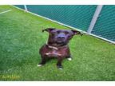 Adopt GABBY a Black Labrador Retriever / American Pit Bull Terrier / Mixed dog