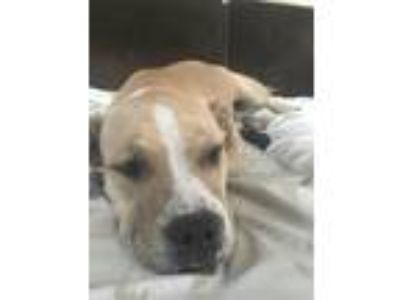 Adopt Rocco a Tan/Yellow/Fawn - with White American Pit Bull Terrier dog in