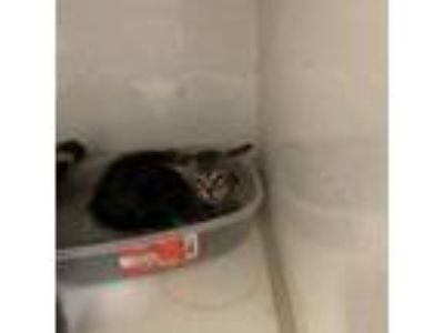 Adopt Jack a Brown or Chocolate Domestic Shorthair cat in League City