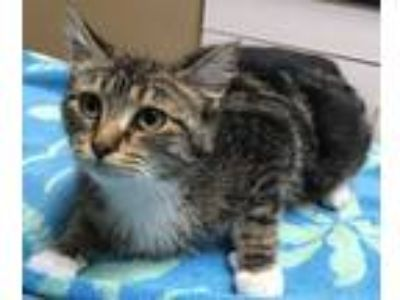 Adopt Cleo a Brown Tabby Domestic Shorthair (short coat) cat in Channahon