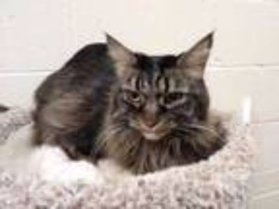 Adopt SASSY a Gray or Blue Maine Coon / Domestic Shorthair / Mixed (long coat)