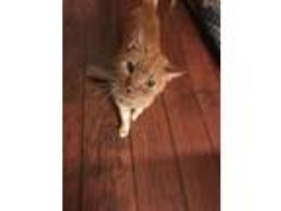 Adopt Simba a Orange or Red Tabby American Shorthair / Mixed cat in Round Rock