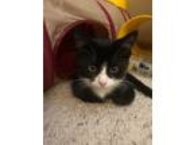 Adopt Betty a Black & White or Tuxedo Domestic Shorthair (short coat) cat in