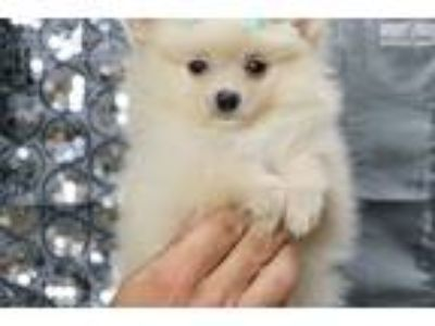 Mister Adorable Akc Pomeranian Puppy Ready!