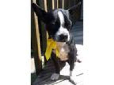Adopt Grace - available 6/23 a Boston Terrier, Beagle
