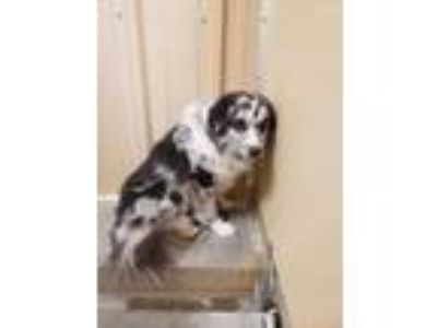 Adopt Blue merle aussie a Australian Cattle Dog / Blue Heeler
