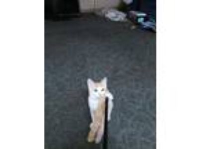 Adopt Cinammon a Orange or Red American Shorthair / Mixed cat in Thomaston