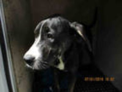 Adopt a Black - with White Hound (Unknown Type) / Mixed dog in Oklahoma City