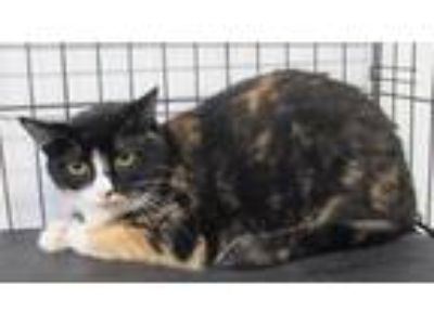 Adopt Princess a Domestic Short Hair