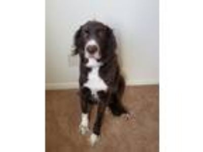 Adopt Chipper a Brown/Chocolate - with White Australian Shepherd / Labrador