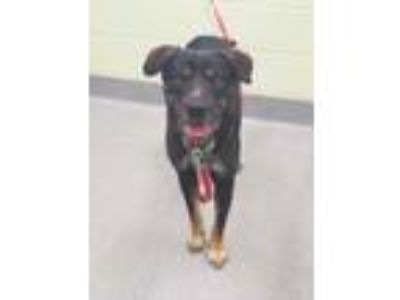 Adopt Coffee a Black Shepherd (Unknown Type) / Mixed dog in Longview