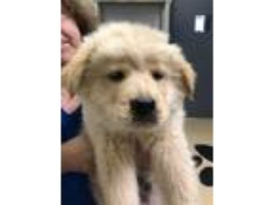 Adopt Kahuna a Shepherd, Golden Retriever