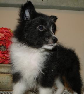 Pomeranian PUPPY FOR SALE ADN-63627 - Pomeranian