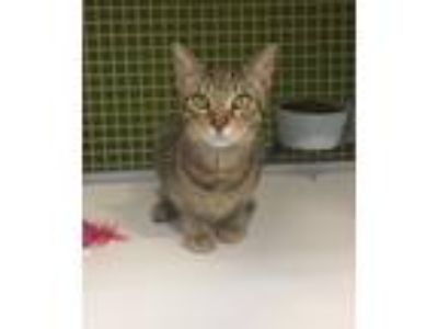 Adopt Adventure Time (Cat 2) a Domestic Short Hair