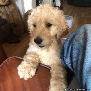 Stunning Golden Doodles puppies