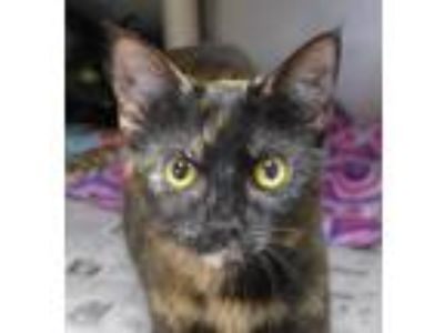 Adopt Ember a Tortoiseshell Domestic Shorthair / Mixed (short coat) cat in