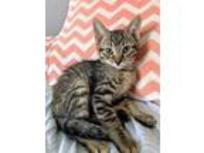 Adopt Minnie KITTEN SHOWER ATTENDEE a Brown or Chocolate Domestic Shorthair /