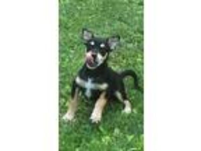 Adopt Blue a Shepherd, Labrador Retriever