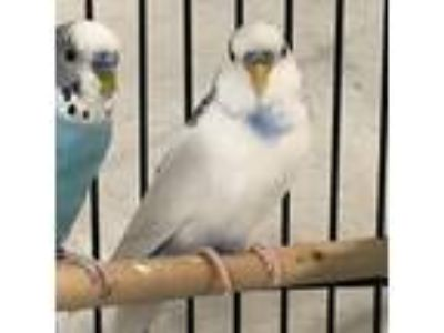 Adopt Bowie a White Budgie bird in Burlingame, CA (25888658)